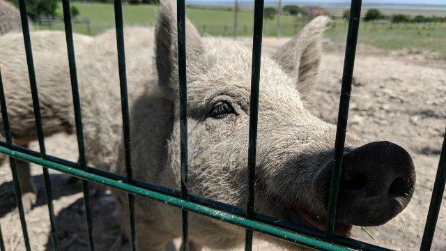 schwein-fuetterung-ungarn-gehege-geocaching-event-radtour-mgs